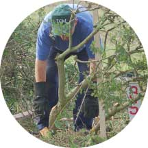hedgelaying-pic